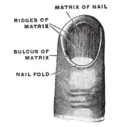Matrix of a fingernail vintage vector