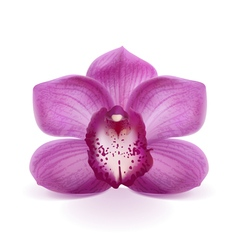 Flower Purple Orchid vector image vector image