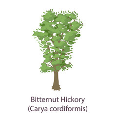 bitternut hickory icon flat style vector image