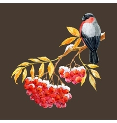 Bullfinch and ashberry vector image