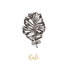 kale vector image