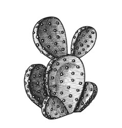 opuntia azurea prickly pear cactus ink vector image