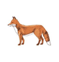 Hand drawn fox vector