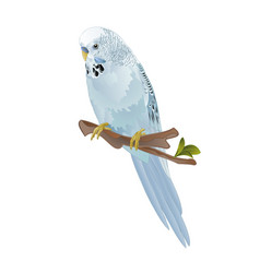 Bird budgerigar blue pet parakeet or budgie vector