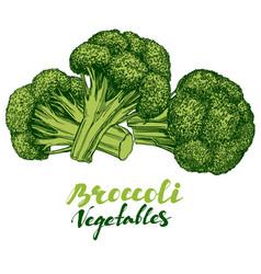 broccoli vegetable set detailed engraved vintage vector image vector image
