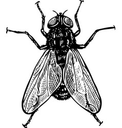 fly in engraved style vector image vector image