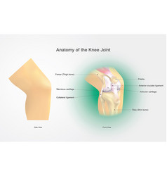 anatomy of the knee joint vector image vector image