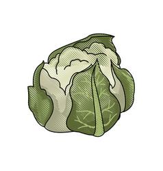drawing cauliflower vegetable nutrition food vector image vector image