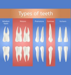 different type of tooth 3d realistic poster vector image