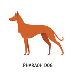 Pharaoh hound lovely cute hunting dog vector