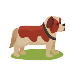 st bernard dog purebred pet animal standing on vector image