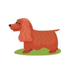 english cocker spaniel dog purebred pet animal vector image