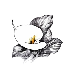 Calla lilly floral black and white vector