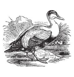 Eider duck vintage vector