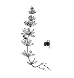 galium tricornutum bptanical vector image
