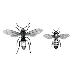 Bee and wasp hand drawing vintage engraving vector