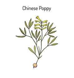 Chinese poppy corydalis yanhusuo medicinal plant vector