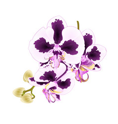 orchid phalaenopsis with spots stem vector image