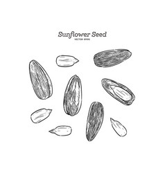 sunflower seed hand draw sketch vector image