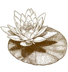 engraving water lily vector image