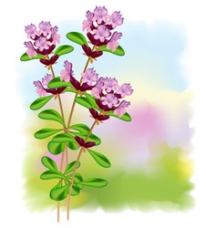 thyme flowers vector image vector image