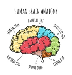 Human Brain Anatomy Sketch vector