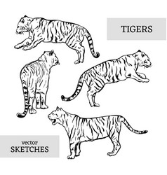 tigers wild cat set white bengal tiger vector image