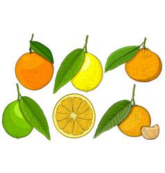 Citrus fruits hand drawn sketch vector