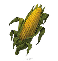 corn hand drawing vintage engraving vector image
