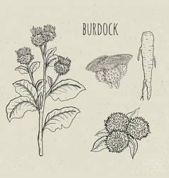 burdock medical botanical isolated plant vector image