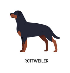 rottweiler gorgeous working or guardian dog vector image