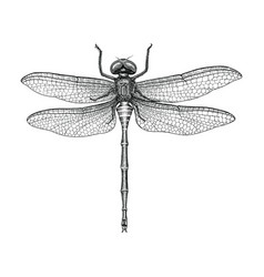 Dragonfly hand drawing vintage engraving vector