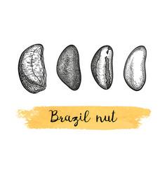 ink sketch of brazil nut vector image