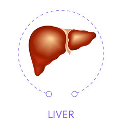 Liver internal body organ isolated icon anatomy vector