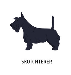 scottish terrier or scottie adorable small dog of vector image