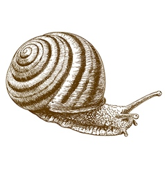 engraving striped snail vector image vector image