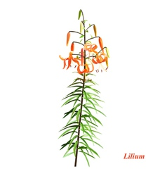 The unique lilium vector image