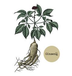 ginseng hand drawing vintage engraving medical vector image