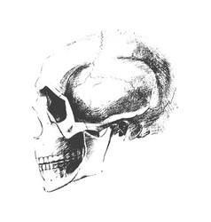 traced skull sketch vector image