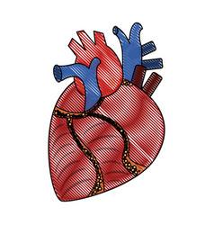human heart organ vector image