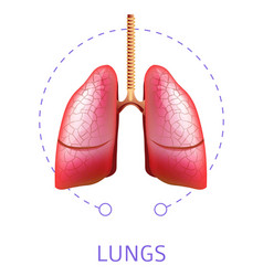 human lungs internal respiratory system organ vector image