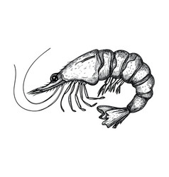 shrimp hand drawn isolated icon vector image
