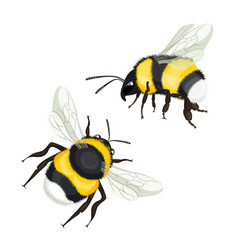 two bumble bees with wings flying vector image