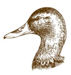 engraving of mullard duck head vector image vector image