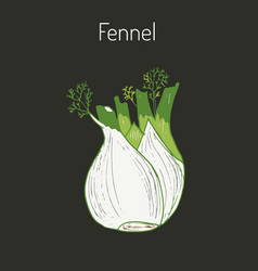 Aromatic herbs collection - fennel vector