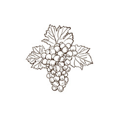 grape branch sketch with leaves vector image