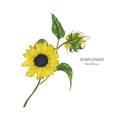 sunflower botanical autumn vector image