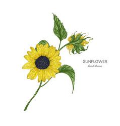 Sunflower botanical autumn vector
