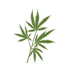 Hemp plant with leaf hand-drawn marijuana or vector