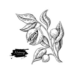 Nutmeg plant branch drawing botanical vector
